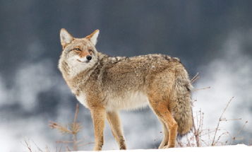 Coyote Hunting: Scale Your Way To Success