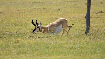 antelope crawling under a fence