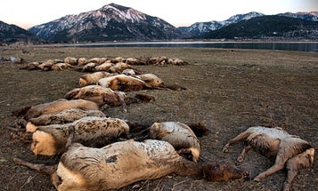 Winter Kill: 31 Elk Fall Through Ice and Drown in Snake River
