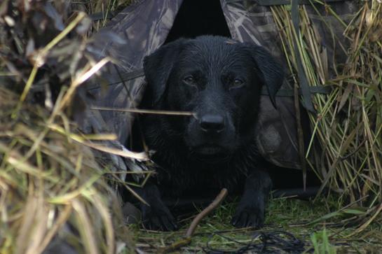 Labrador Retriever Still Most Popular Dog in U.S.