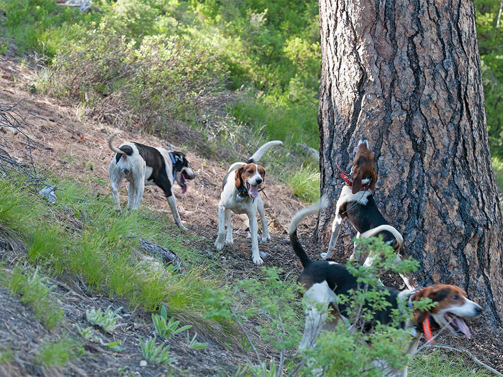hunting dogs around tree bear hunt