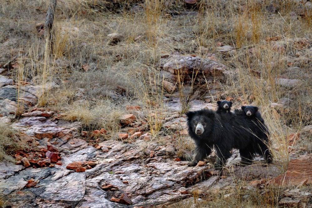 httpswww.outdoorlife.comsitesoutdoorlife.comfilesimport2014importImage2011photo10013215791_0_CATERS_Bear_tiger_01.jpg
