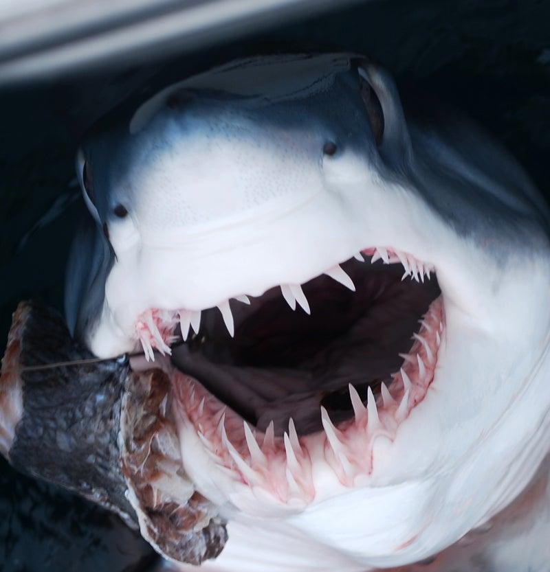 """""""shark"""