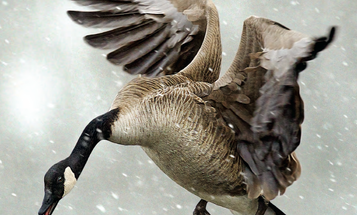 Tips and Tactics: How to Hunt Geese