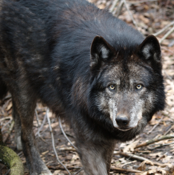 USFWS Proposes Removing Federal Protections for Wolves in Wyoming