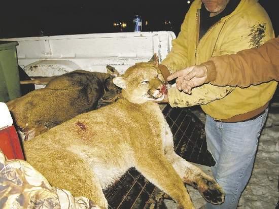 Mountain Lion Alert!