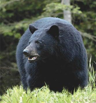 Big, Bad Black Bears
