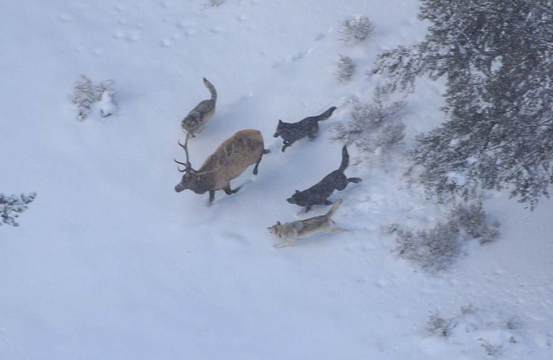 httpswww.outdoorlife.comsitesoutdoorlife.comfilesimport2014importImage2011photo100132157914_800px-Wolves_and_elk.jpg