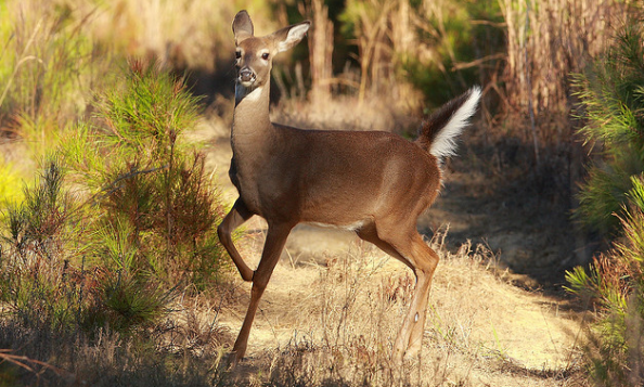 Whitetail Tips: How Wind Affects Deer Movement