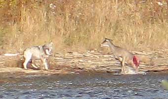 httpswww.outdoorlife.comsitesoutdoorlife.comfilesimport2014importImage2007legacyoutdoorimageswolfstory3_200.jpg