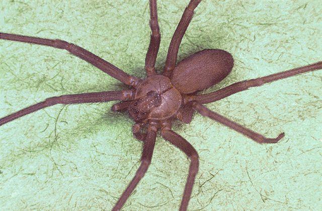 httpswww.outdoorlife.comsitesoutdoorlife.comfilesimport2014importImage2010photo3001011_Brown_recluse_spider.jpg