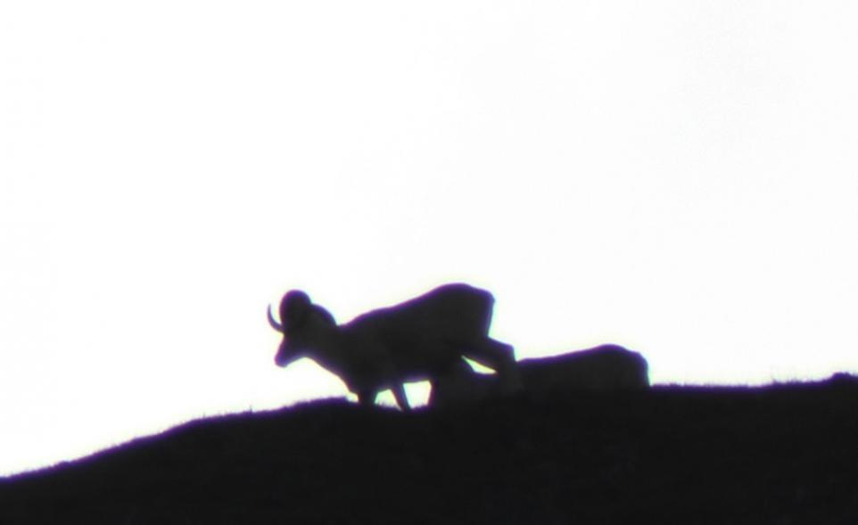 A Tale from an Alaskan Sheep Hunt: Chasing Houdini