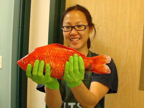 Biologists: Giant Goldfish May Take Over Lake Tahoe