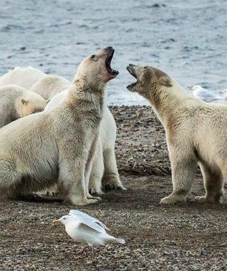 Polar Bear Photos: 80 Bears Roam Outskirts of Alaskan Whaling Village