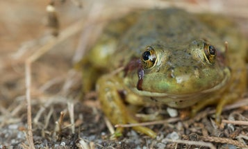 A Beginner's Guide to Gigging Frogs