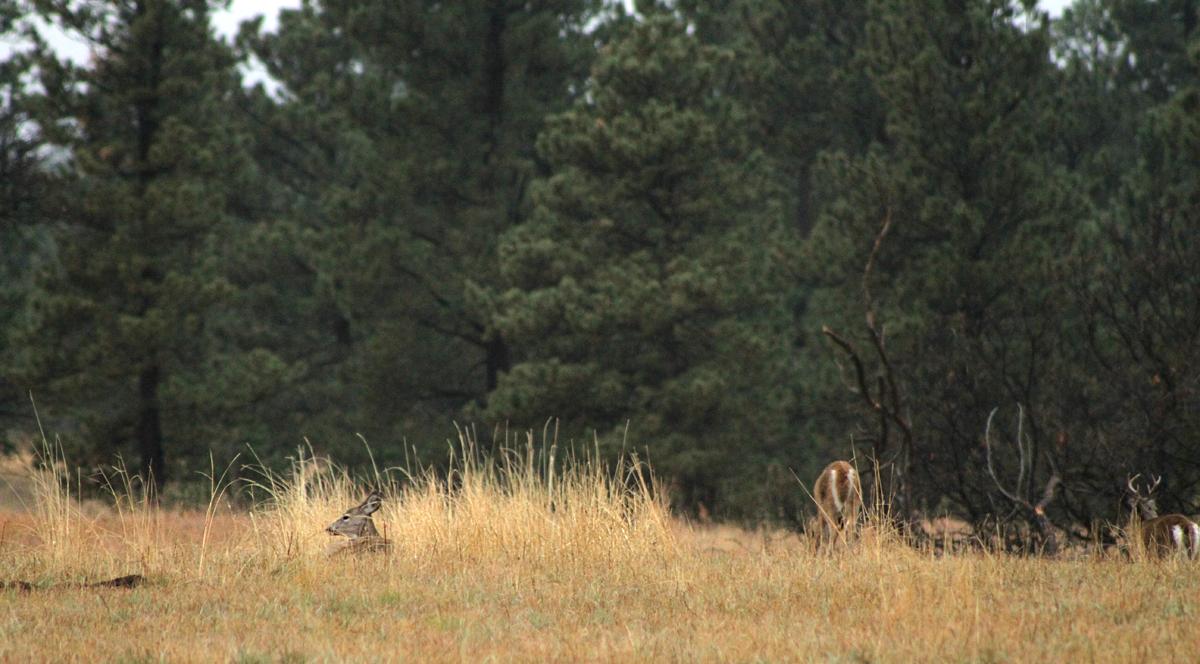 deer-national-forest