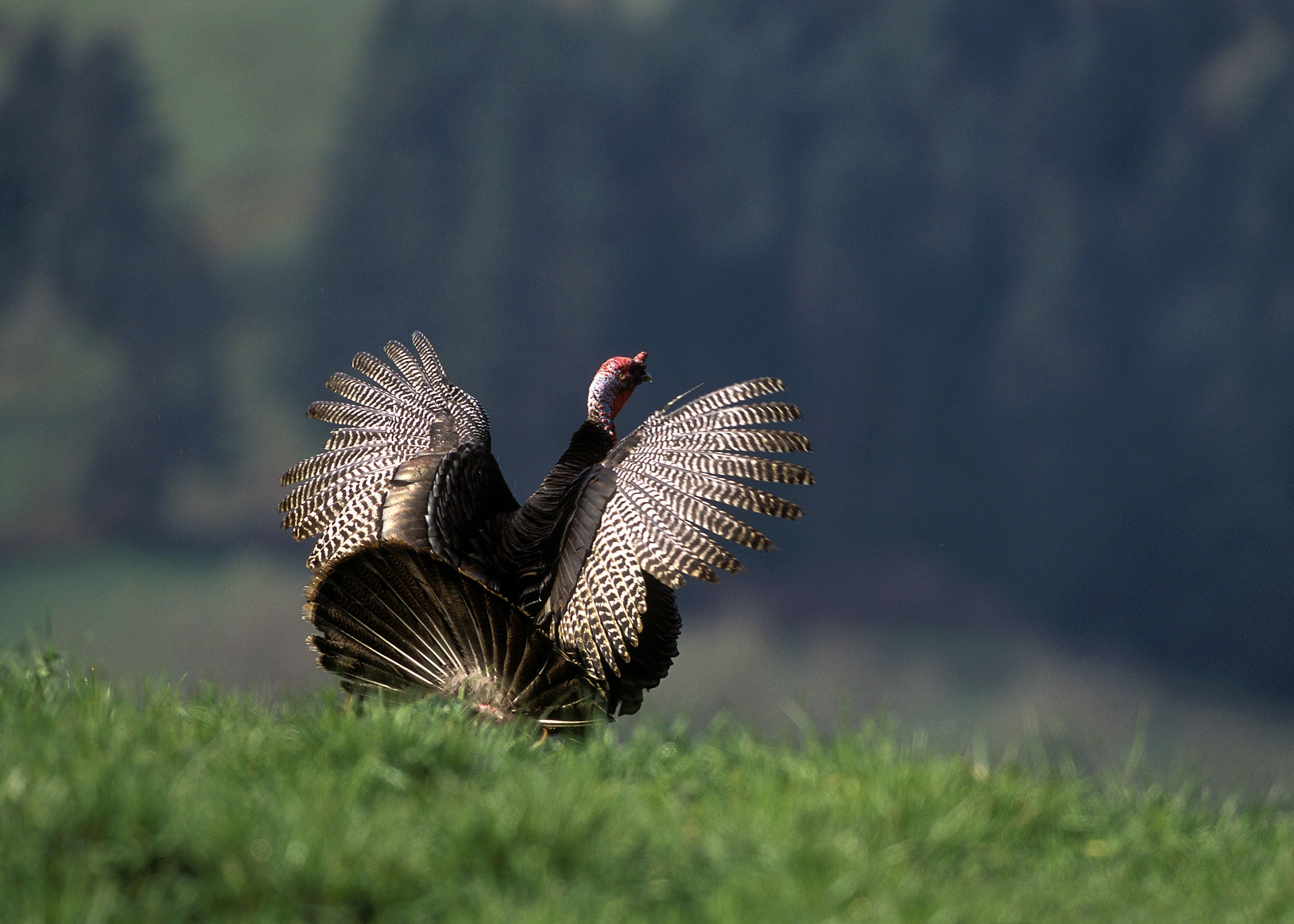 Myth of the Call-Shy Gobbler