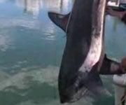 497-Pound Thresher Shark Caught Off Montauk, NY