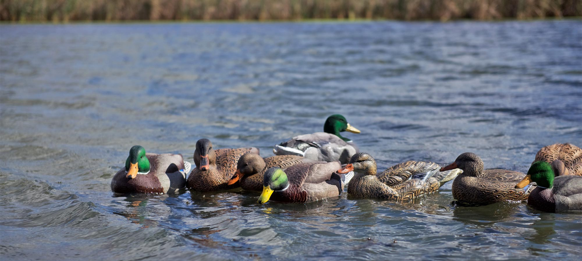 a spread of duck decoys floating on the water