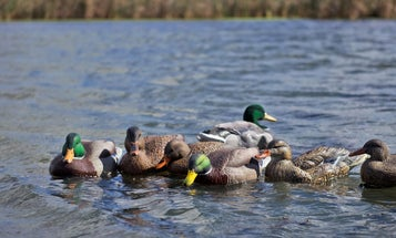 Decoy Test: The Best Mallard Floaters and Canada Goose Full Bodies Rated and Ranked