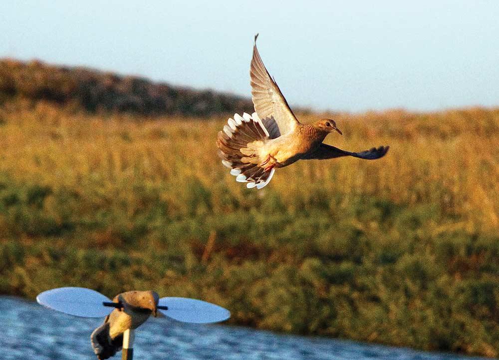 Dove landing in wheat field