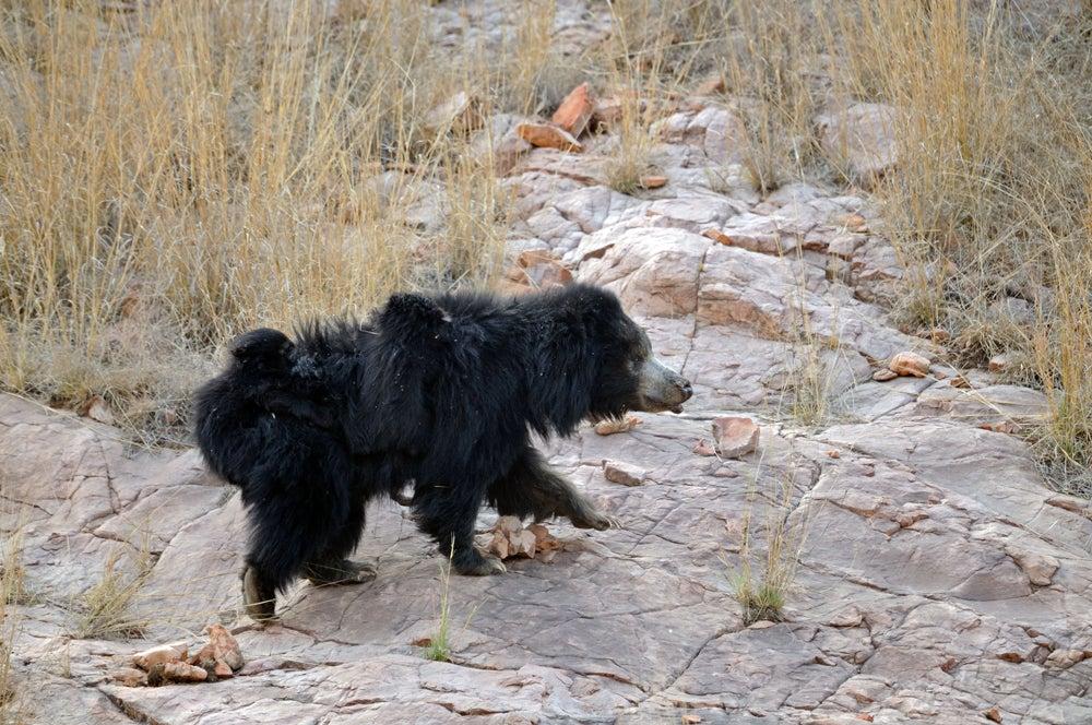 httpswww.outdoorlife.comsitesoutdoorlife.comfilesimport2014importImage2011photo100132157912_11_CATERS_Bear_tiger_12.jpg