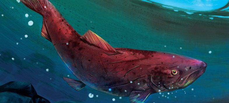 alaskan salmon illustration