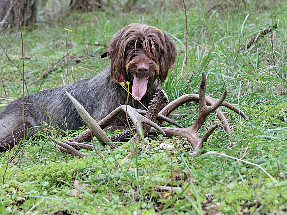 pudelpointer dog shed antlers