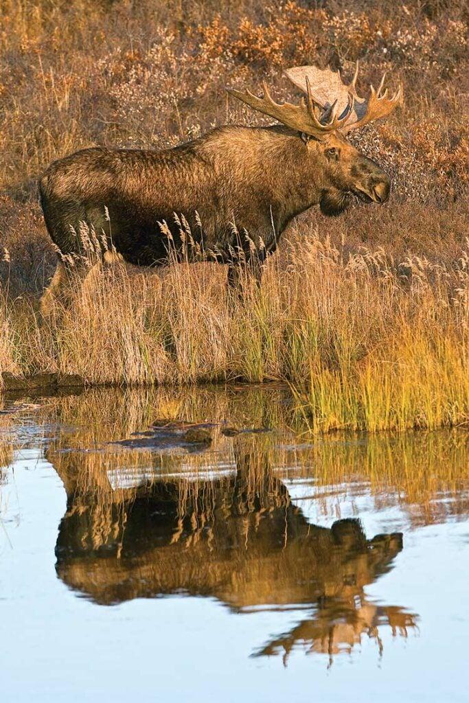 Huge moose in the Last Frontier