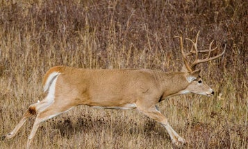 Should You Really Wait 30 Minutes Before Blood Trailing a Deer? Not Always