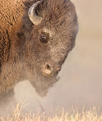 New Bison War: Should Buffalo Be Reintroduced to the West?