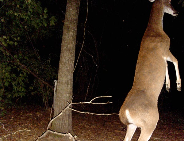A doe showing her dominance.