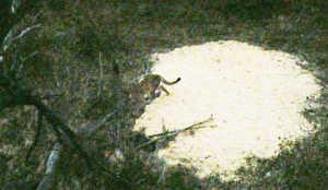 Kansas Deer Hunter Bags Photos of Rare Cougar