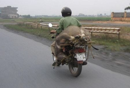 A deer moved by motorcycle.