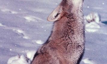 Late-Season Coyote Hunting: Understanding the Challenge Howl