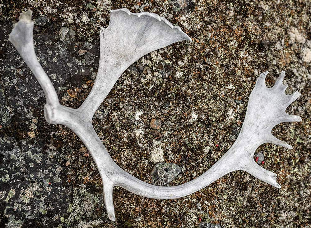 quebec caribou antler on the ground