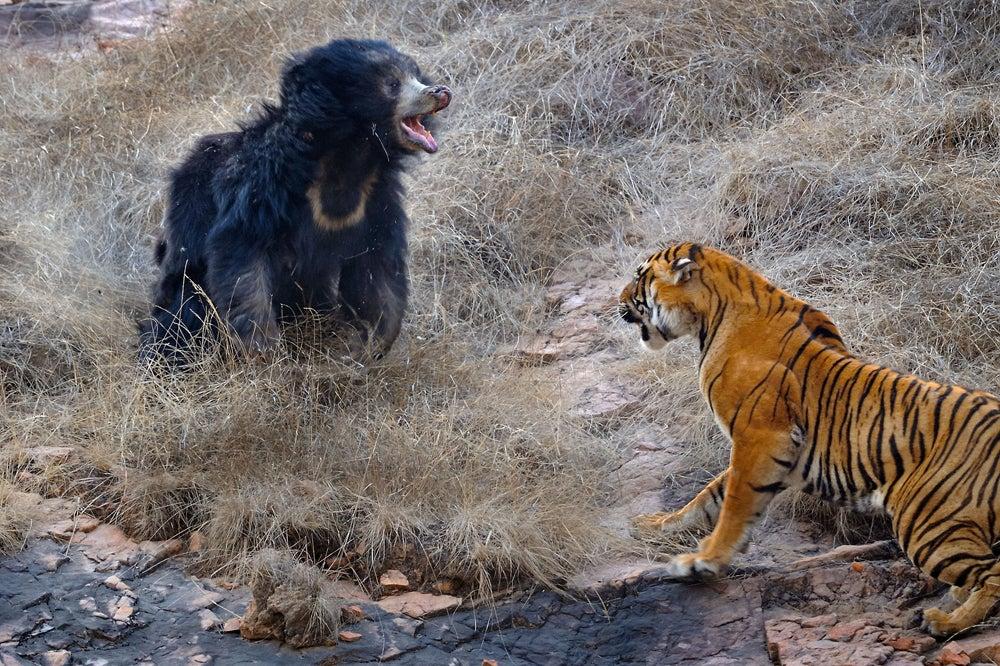 httpswww.outdoorlife.comsitesoutdoorlife.comfilesimport2014importImage2011photo10013215796_5_CATERS_Bear_tiger_06.jpg