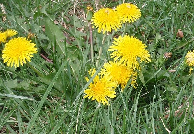 dandelion flowers lawn