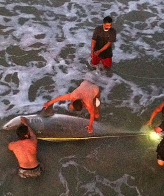 Record 12.5 Foot Tiger Shark Caught Off a Pier in Texas
