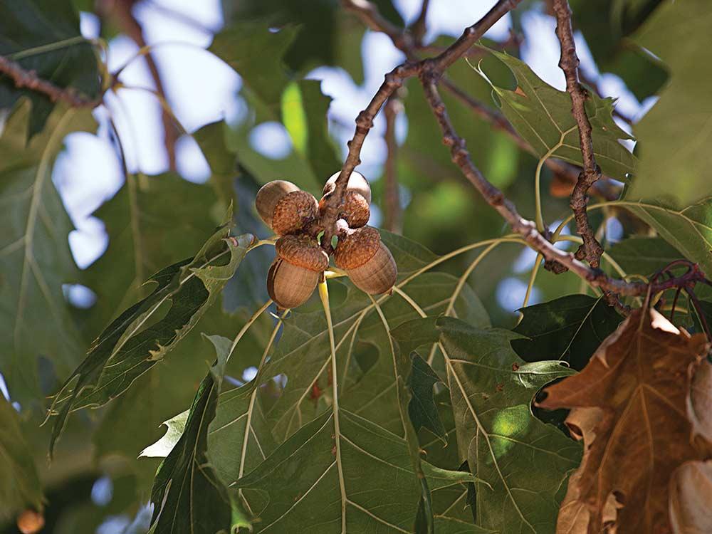 Red oak laden with acorns.