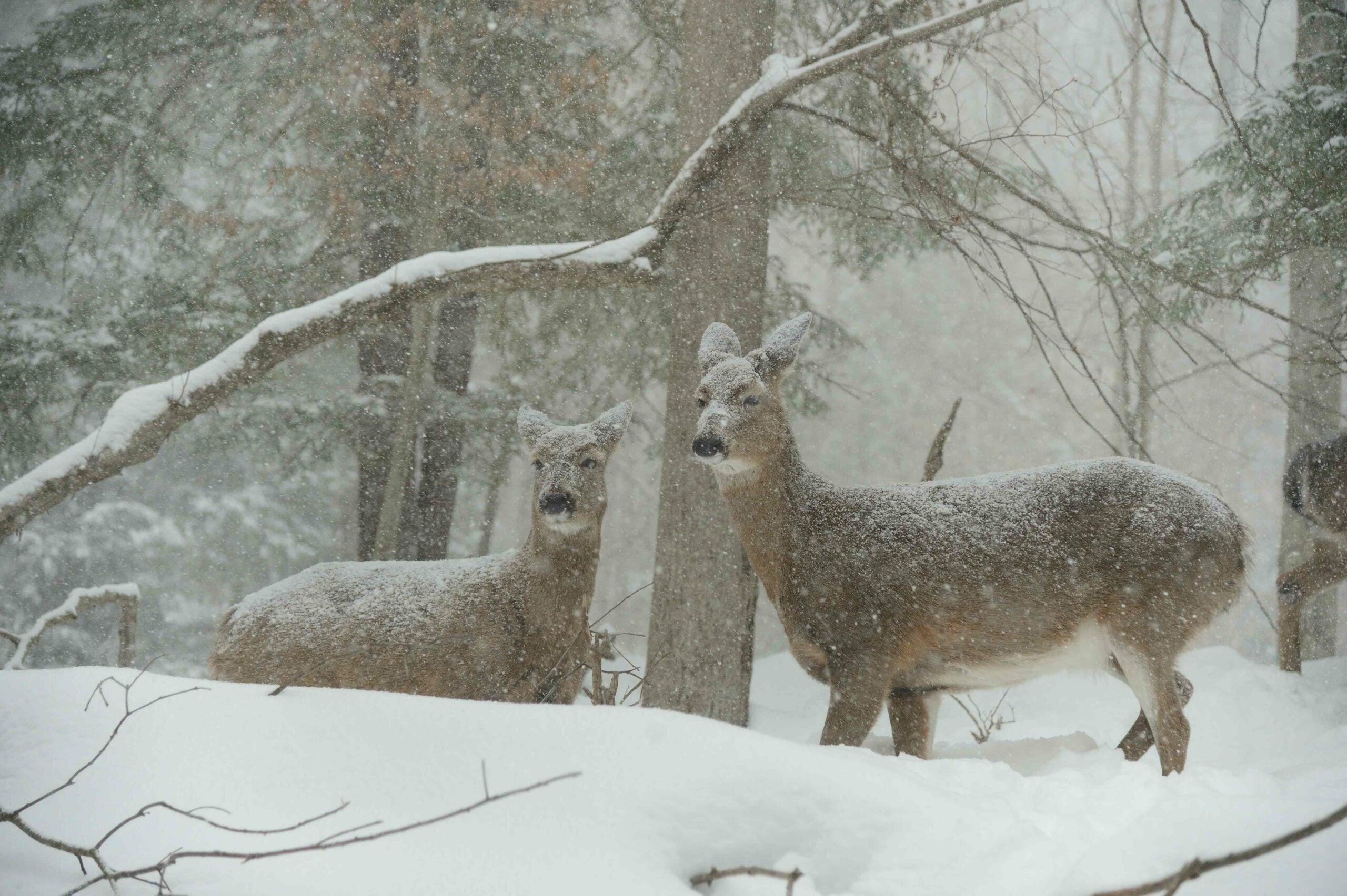 Will Winter Wipe Out Your Deer Herd?