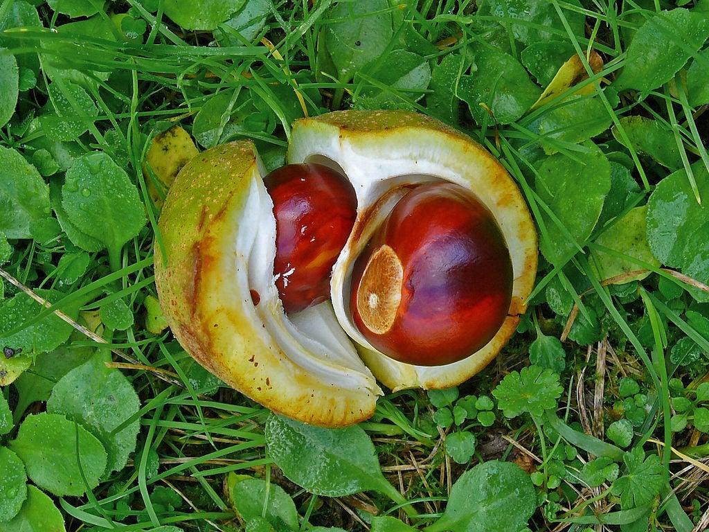 buckeye nut