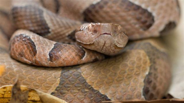 httpswww.outdoorlife.comsitesoutdoorlife.comfilesimport2014importImage2010photo3001016.Ozark_Copperhead_Snake.jpg