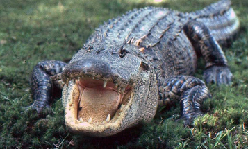 Gator Attack and Dog CPR