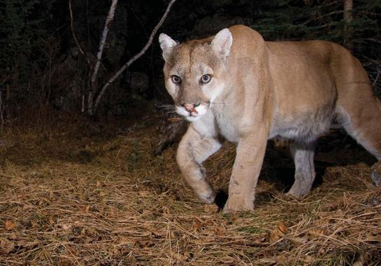 More Mountain Lion Hunters Than Deer Hunters in the Black Hills