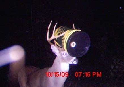 Yes, that's a bucket stuck on that deer's head.