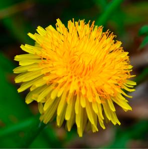 Spring Wild Edible Plants