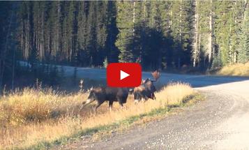 Video: Rutting Bull Moose Fight in Alberta