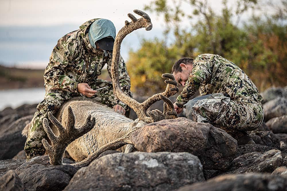 field dressing a bull caribou with full velvet antlers