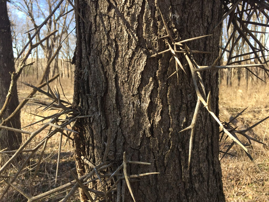 locust thorns